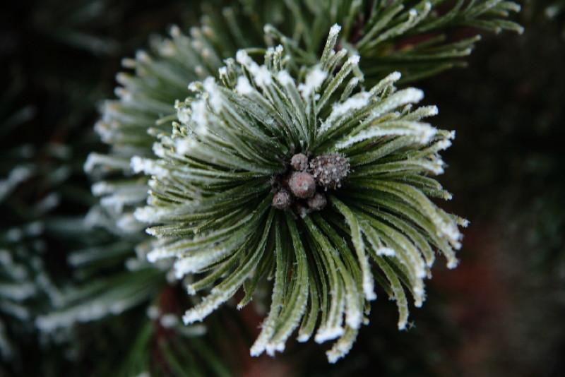 Pine Whorl