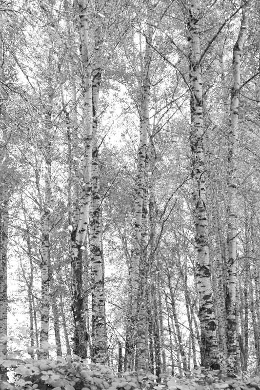 Whispery Birches